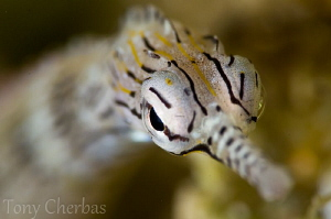 The Pied Pipefish by Tony Cherbas